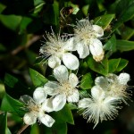 A Parable of Two Plants: Myrtus and Ruscus