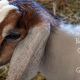 Baby Goat As An Aspect of Goodwill